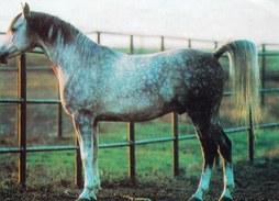 Grey Spotted Horse - Printed 1988 In Bulgaria - Pferde