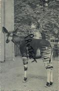 Antwerpen : ZOO :  Okapi - Antwerpen