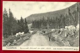 PRF-12 Bad Tuschnad,  TusnádfürdÅ'. Berger Avec Troupeau De Vaches, ANIME. Circulé En 1907 Vers La Suisse - Roemenië
