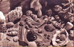 Conchiglie Shell Su Cartolina  Di  Polinesia Francese - Conchiglie