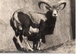 Animaux.. Mouflon - Autres