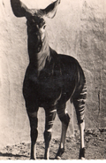 Animaux.. Okapi - Autres