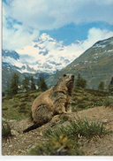 Animaux.. Marmotte Alpine Hoary Marmot Marmotta Delle Alpi - Autres