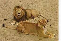 Animaux.. Lion Lionne Couple De Lions Lions Lionnes Zoo La Palmyre Royan - Lions