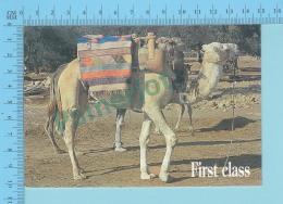 Humour Comic - First Class Driving, Dromadaire De Tunisie - 2 Scans - Animaux & Faune
