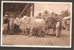 TRINIDAD Two Ox Power. Postcard To K.L.M. Schiphol. Holland - Postcards