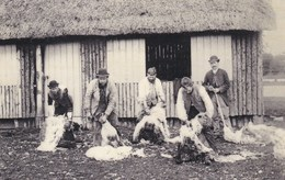 SHEEP SHEARING 1895. REPRINT - Breeding