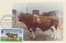 D28509 CARTE MAXIMUM CARD 1972 GUERNSEY - CATTLE - A GUERNSEY BULL - BREEDERS CP ORIGINAL