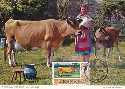 D28510 CARTE MAXIMUM CARD 1971 JERSEY - CATTLE - COW CP ORIGINAL