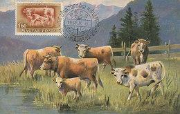 D28512 CARTE MAXIMUM CARD 1961 HUNGARY - CATTLE - COW CP VINTAGE ORIGINAL