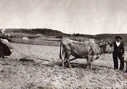 Il Etait Une Fois L'AUVERGNE Et Les Cevennes La Femme Laboureur,attelage De Boeufs Ou Vaches,carte Moderne - Auvergne