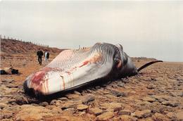 ¤¤  -    LA TRANCHE-sur-MER   -  Baleine échoué à La Pointe Du Grouin Le 27 Novembre 1992  -  ¤¤ - La Tranche Sur Mer