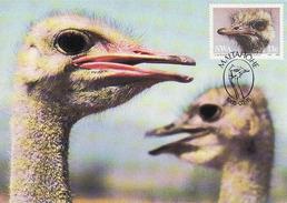 South Africa, Maximum Card 1985, The Ostrich, Strauss, Volstruis, Mint - Afrique Du Sud (1961-...)