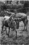 05 Gnu - Wildebeest - Gnou - Animals