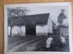 Foto - Photo - Boerenhof - Schuur Met Varkens - Hoeve Bosstraat N° 169 Te Gentbrugge - Photos