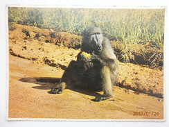 Postcard Baboon Eating Orange On Road To Cape Point Reserve Cape Town South Africa ? My Ref B234 - Monkeys