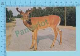 Canadian Red Deer On The High Way  -  Used In 1956 + Cnd Stamp- 2 Scans - Animaux & Faune
