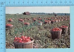 Leamington Ontario - Tomato Harvesting -  2 Scans - Cultures