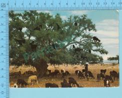 """Maroc  ,  Arbre De Chevres, """" Des Chèvres Dans Les Branches"""", Voyagée 1979 + 2 Timbres -  2 Scans - Maroc (1956-...)"""