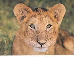 Cartoline- Animali-leone-tanzania - Leoni