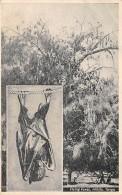 TONGA - Flying Foxes - Chauve Souris / Bat - Tonga