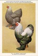 KBIN / IRSNB - Ca 1950 - Pluimvee, Oiseaux De Basse-cour, Poultry, Chicken (perfect Condition) - 16 - Oiseaux