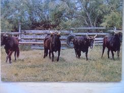 Camargue Manade - Bull