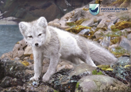 "2016-164 Russia Russland Russie Rusia Postal Card ""B"" Animals-Fauna-Arctic Fox-Quiet Cove-Hooker Island-Franz Josef Land - 1992-.... Federación"