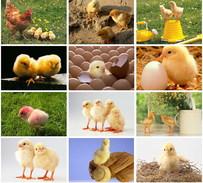 12  Postcards Of  Chick Cock Bird  Animal , Postkarte Carte Postale - Autres