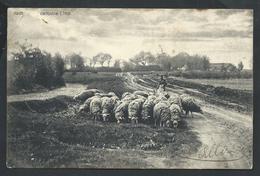 +++ CPA - AS - ASCH - ASSE - Campine Limb. - Moutons - Cachet Relais 1906  // - As