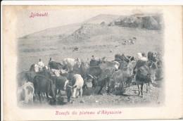 CPA DJIBOUTI Précurseur 1904 Boeufs Du Plateau D'Abyssinie + Cachet + Timbre Côte Des Somalis - Gibuti