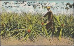 POS-352 CUBA POSTCARD HAVANA. HABANA 1907. PLANTACION DE PIÑAS. FIELD OF PINEAPPLE TO US. - Cuba