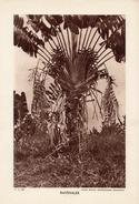 LA REUNION, RAVENALES, Planche Densité = 200g, Format 20 X 29 Cm, (Serv. Photo. Madagascar) - Géographie