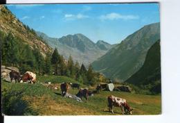 S2683 Cartolina Con Animali - Mucche Vaches Cows Vacas Kuhe __ Annullo Forno Alpi Graie Fraz. Di Groscavallo 1970 - Vaches