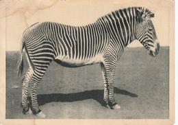 Zoological Series. Zebra. - Zebras