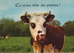 """"""" La Vraie Tête Du Patron!"""" - Vaches"""