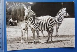 ZEBRA Leipzig Zoo GDR Fauna - Zebras