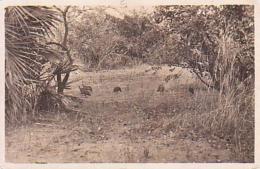 Tchad       1         Pintades Sauvages Dans La Savanne Du Tchad - Chad