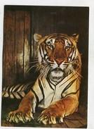 TIGER - AK249756 Bengaltiger - Tiger