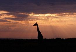 [ T95-108   ]   Mammal Giraffes , China Pre-stamped Card, Postal Stationery