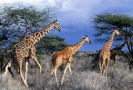 [ T95-109   ]   Mammal Giraffes , China Pre-stamped Card, Postal Stationery