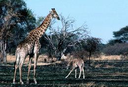 [ T95-110   ]   Mammal Giraffes , China Pre-stamped Card, Postal Stationery