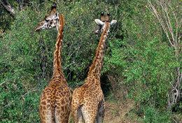 [ T95-111   ]   Mammal Giraffes , China Pre-stamped Card, Postal Stationery
