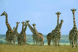 [ T95-112   ]   Mammal Giraffes , China Pre-stamped Card, Postal Stationery