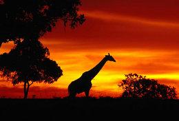 [ T95-113   ]   Mammal Giraffes , China Pre-stamped Card, Postal Stationery