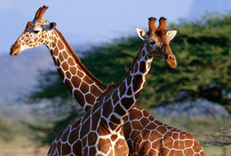 [ T95-115   ]   Mammal Giraffes , China Pre-stamped Card, Postal Stationery