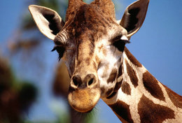 [ T95-117   ]   Mammal Giraffes , China Pre-stamped Card, Postal Stationery