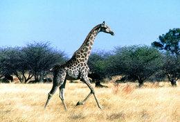 [ T95-118   ]   Mammal Giraffes , China Pre-stamped Card, Postal Stationery