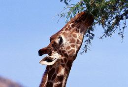 [ T95-119   ]   Mammal Giraffes , China Pre-stamped Card, Postal Stationery