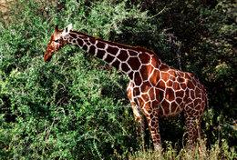 [ T95-120   ]   Mammal Giraffes , China Pre-stamped Card, Postal Stationery